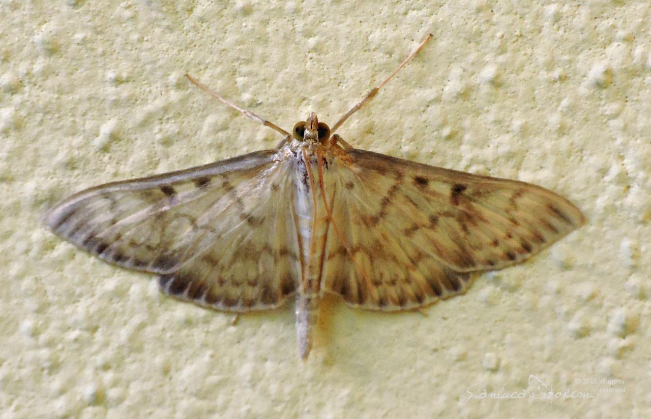 Crambidae Larvae
