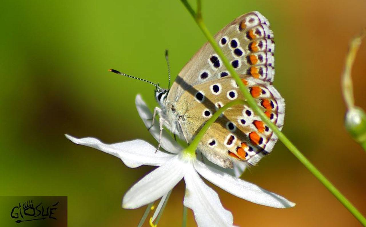 Polyommatus bellargus - © Giosuè Cuccurullo