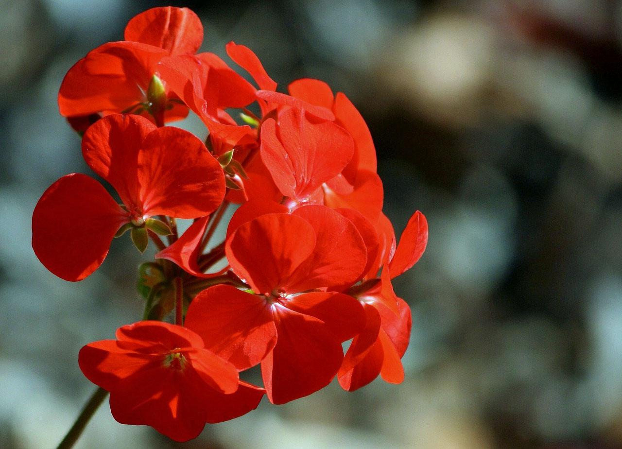 Cacyreus marshalli - Geranio giallo ...