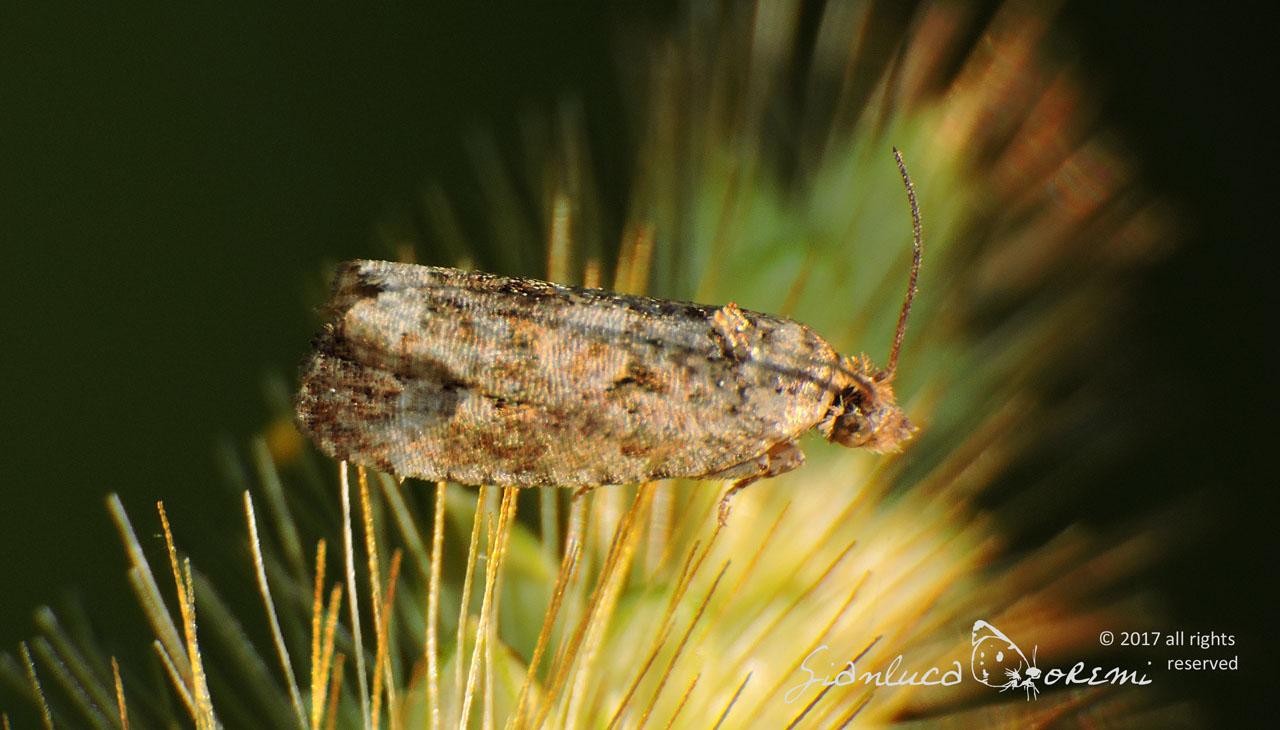 Endothenia pauperculana - © Gianluca Doremi