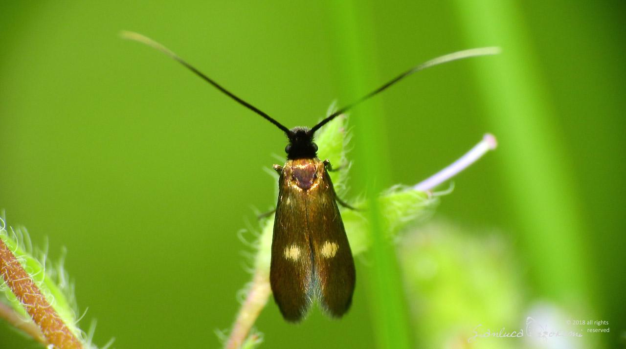 Un Lepidottero al giorno – Adelidae– Cauchas fibulella