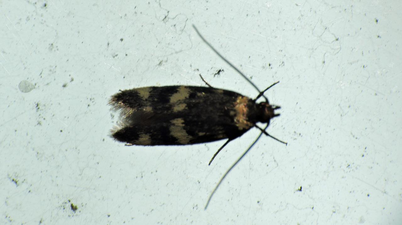 Un Lepidottero al giorno – Autostichidae – Oegoconia cfr. deauratella