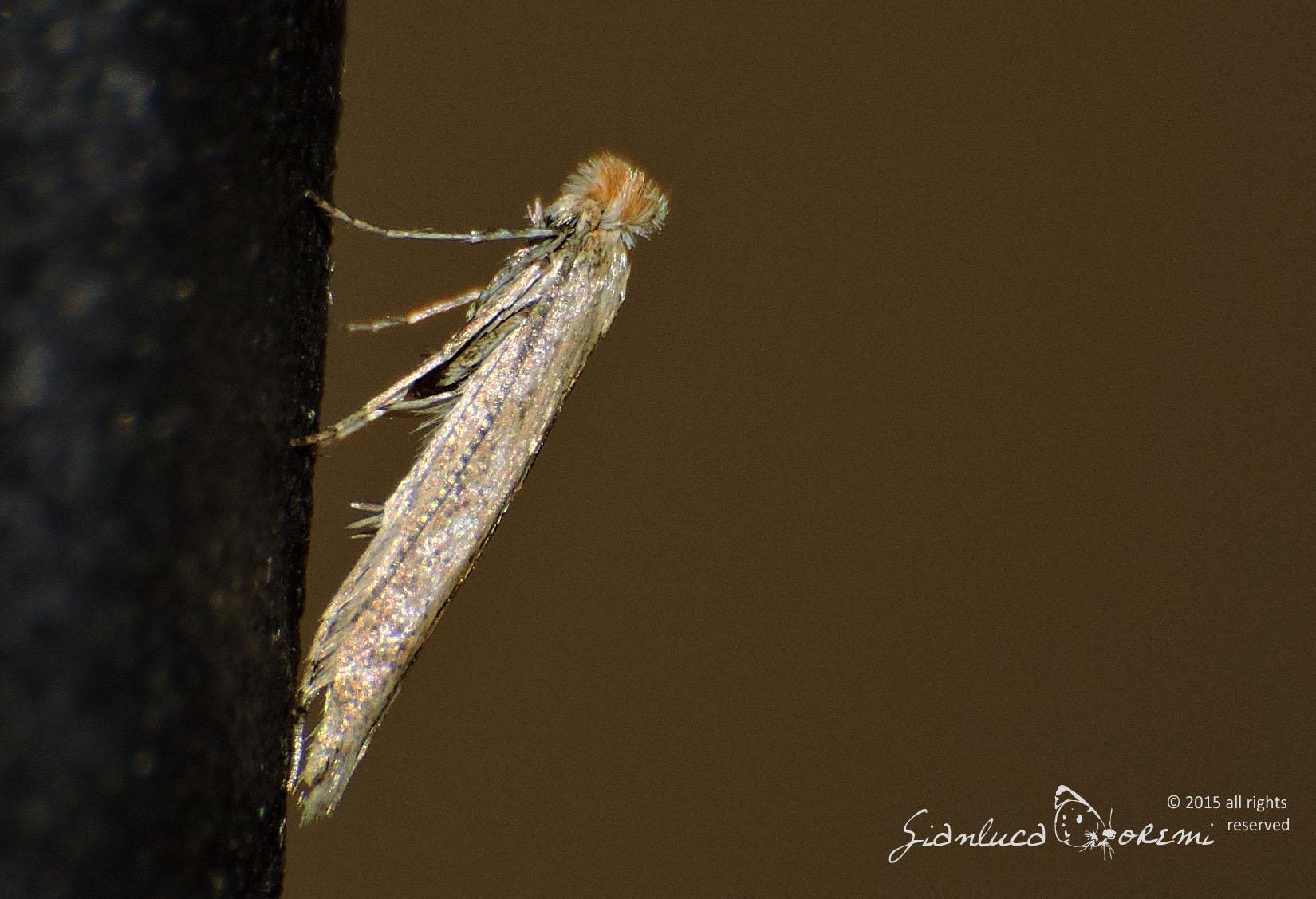Un Lepidottero al giorno – Bedelliidae – Bedellia somnulentella