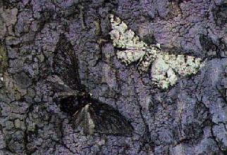 Biston Betularia - bluff