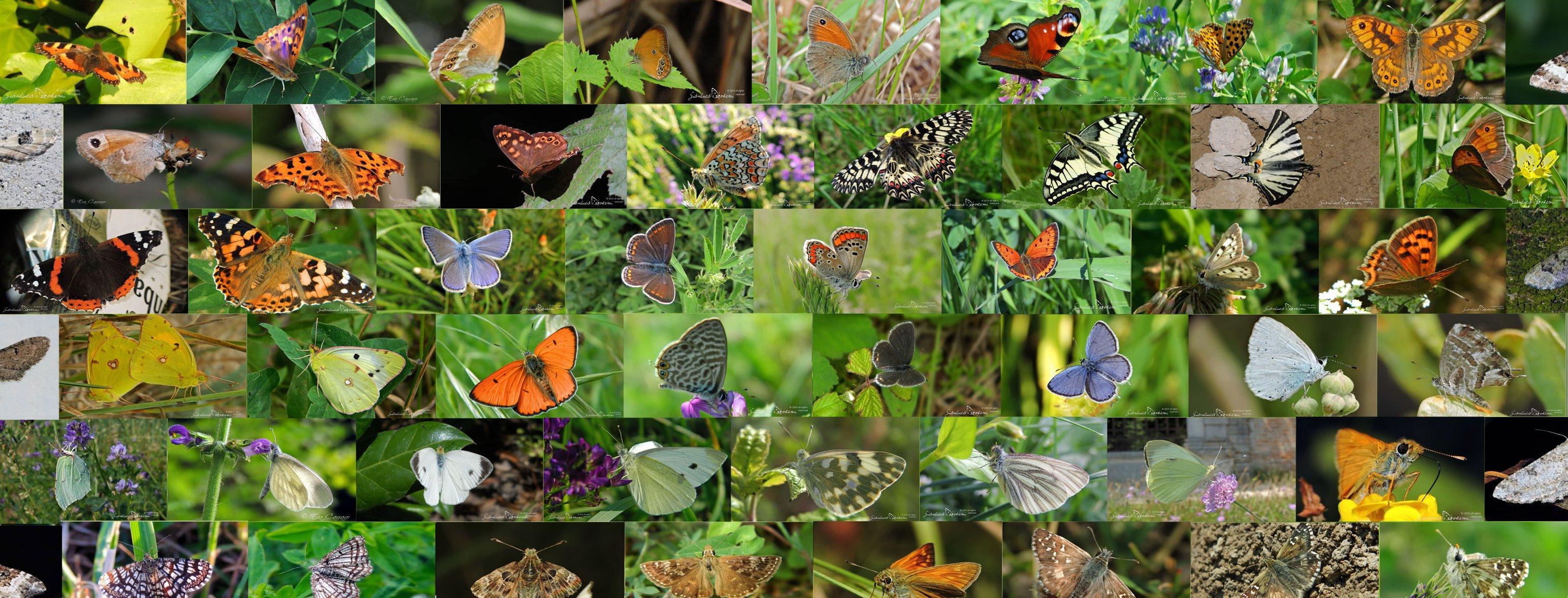 Lepidotteri della Bassa friulana - © Gianluca Doremi insetti