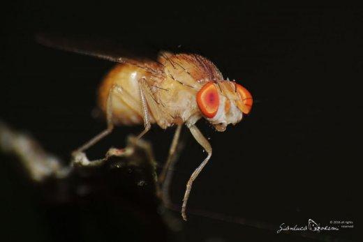 Drosophila melanogaster - Gianluca Doremi- vespa - batteri