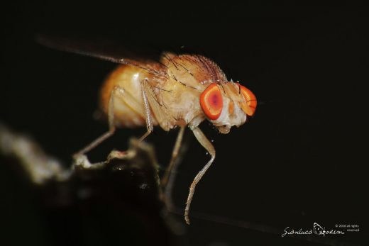 Drosophila sp. - © Gianluca Doremi - sonno