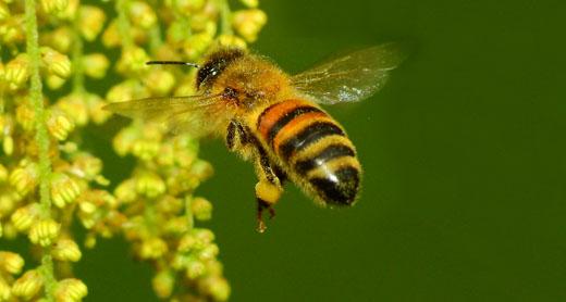 Apis mellifera - Gianluca Doremi - brevetto - impollinatori - api -miele