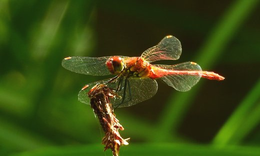 Libellula Gianluca Doremi insetti sorprendenti