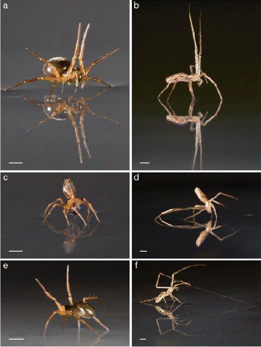 """Esempi di posizionamento delle zampe dei ragni per la """"navigazione"""" - navigatori"""