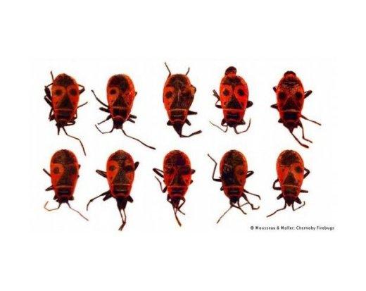 Pyrrhocoris apterus - mutazioni @ Mousseau & Moller