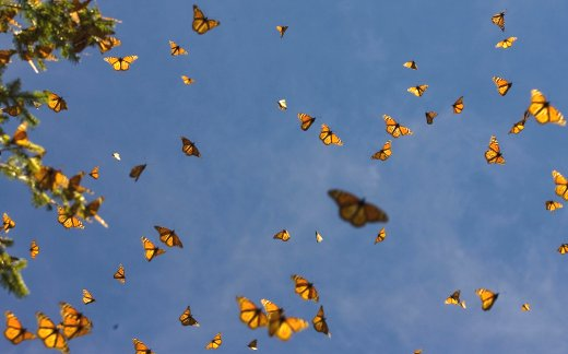 Farfalle monarca - foto da http://scienze.fanpage.it - migrazioni