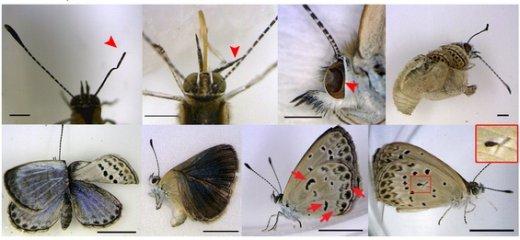 Esempi di malformazioni accumulate dalle farfalle in seguito all'ingestione di foglie contamiate con materiale radioattivo (Immagine: Hiyama et al. Scientific Reports 2014). radiazioni