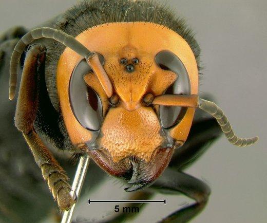 Vespa Mandarinia o calabrone gigante
