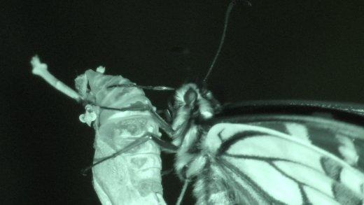 Papilio machaon in notturna - © Gianluca Doremi