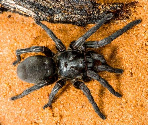 Il nuovo ragno botola - Mygalomorphae Barychelidae Idiomata sp.© R. Whyte