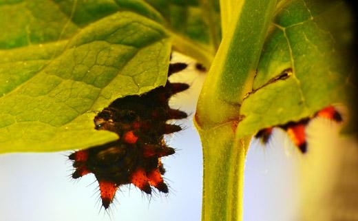 Bruco di Zerynthia polyxena su Aristolochia rotunda - © Gianluca Doremi