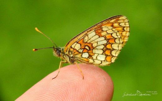 Melitaea athalia - © Gianluca Doremi - farfalle