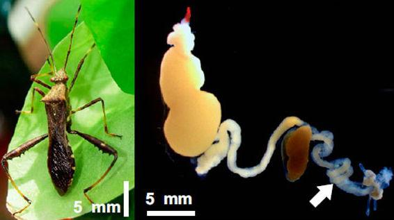 A sinistra adulto di Riptortus pedestris, a destra tratto intestinale dell'insetto colonizzato dal batterio simbionte Burkholderia. Credit immagine: Original paper.