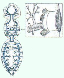 Apparato respiratorio - www.insetti.org
