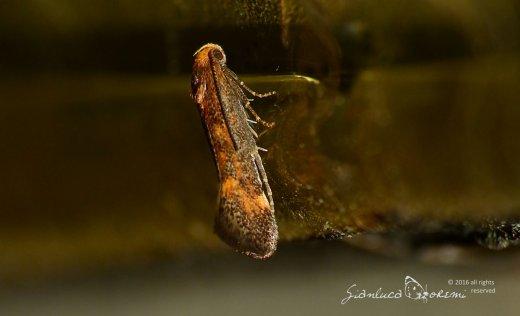 Apodia bifractella - © Gianluca Doremi