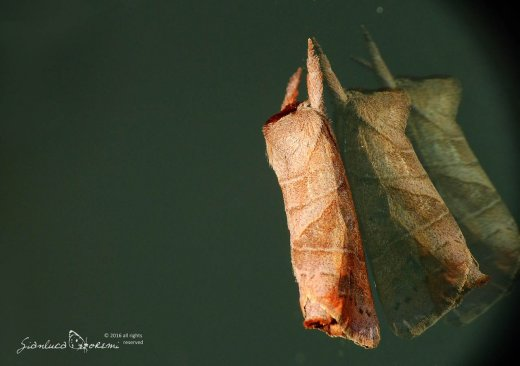 Aggiornamento del sito falena – 293 – Clostera anastomosis – Notodontidae