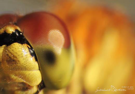 Occhio di Sympetrum sp. - ©Gianluca Doremi -Pasquale