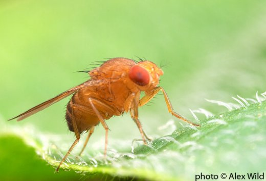 Drosophila sechellia - © Alex Wild