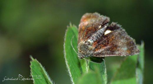Aggiornamento del sito falena – 292 – Panemeria tenebrata – Noctuidae (Scopoli, 1763)