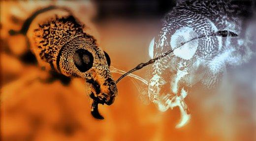 Dragon - Rielaborazione grafica di Polydrusus sp.  cm 100x55,2- © Gianluca Doremi Eva Carraro