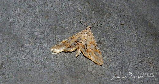 Aggiornamento del sito falena – 298 – Elophila nymphaeata – Crambidae