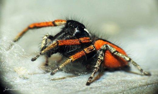 Philaeus chrysops ♂ - © Gianluca Doremi - ragni