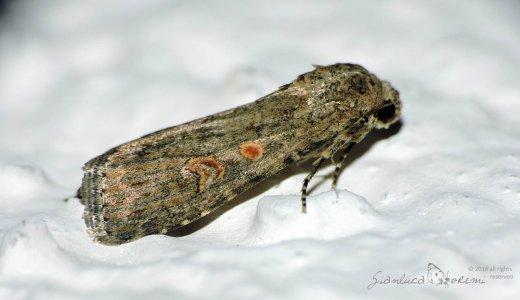 Spodoptera exigua - © GIanluca Doremi
