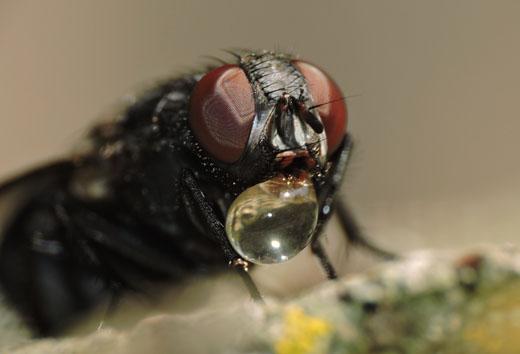 Perché le mosche si posano sul cibo che abbiamo davanti? È il loro modo di assaggiarlo: nelle mosche, la sede del gusto risiede nelle zampe. - © Gianluca Doremi