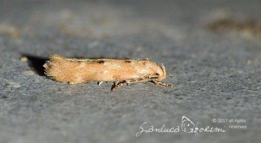 Mompha epilobiella © Gianluca Doremi