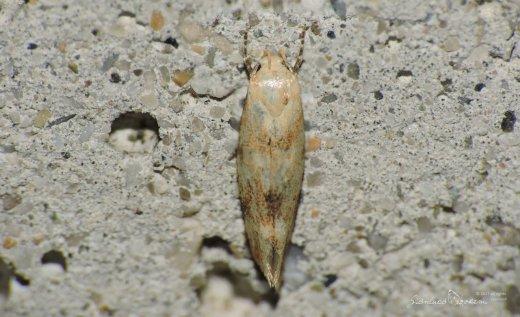 Elachista maculicerusella © Gianluca Doremi