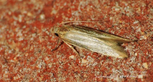 Monochroa simplicella © Gianluca Doremi