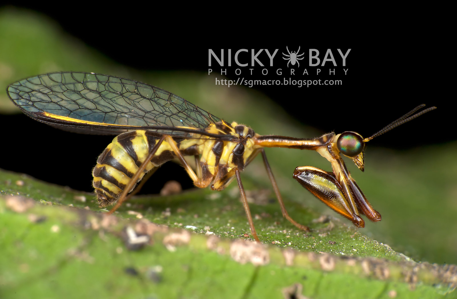 Mantispidae - © Nick Bay