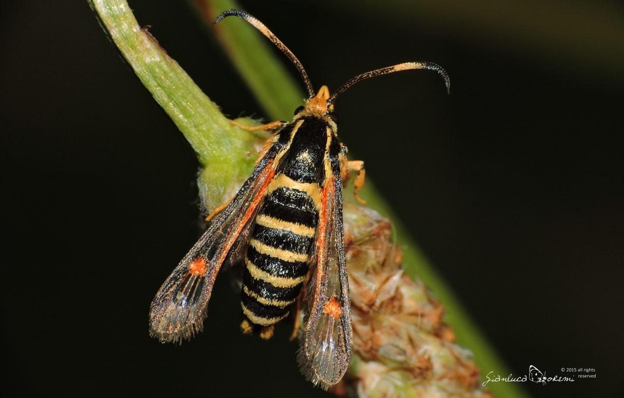 Bembecia ichneumoniformis Falena vespa