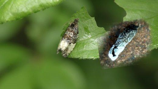 Hedya pruniana - © Gianluca Doremi. - Se non si fosse mossa non sarei riuscito a fotografarla in quanto scambiata per escremento di uccello.