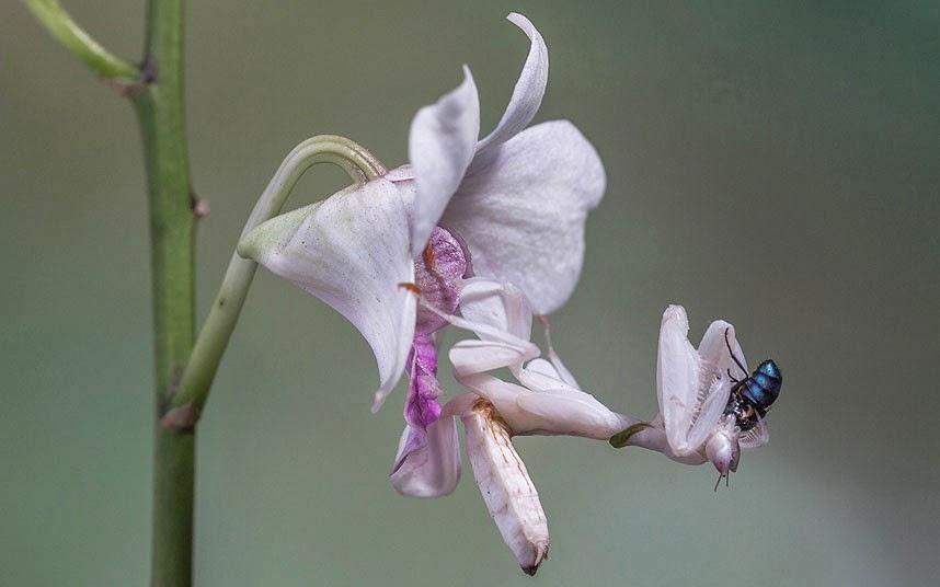 Mantide orchidea con preda