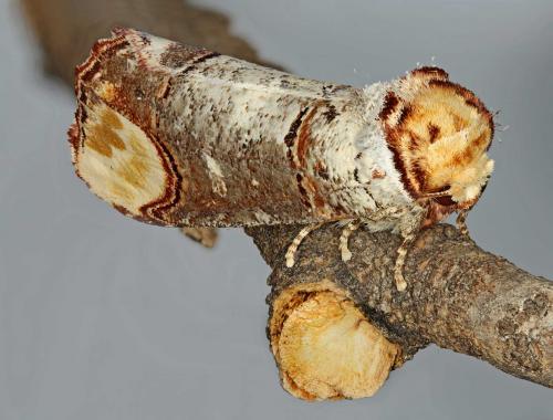 Adulto di Phalera bucefala