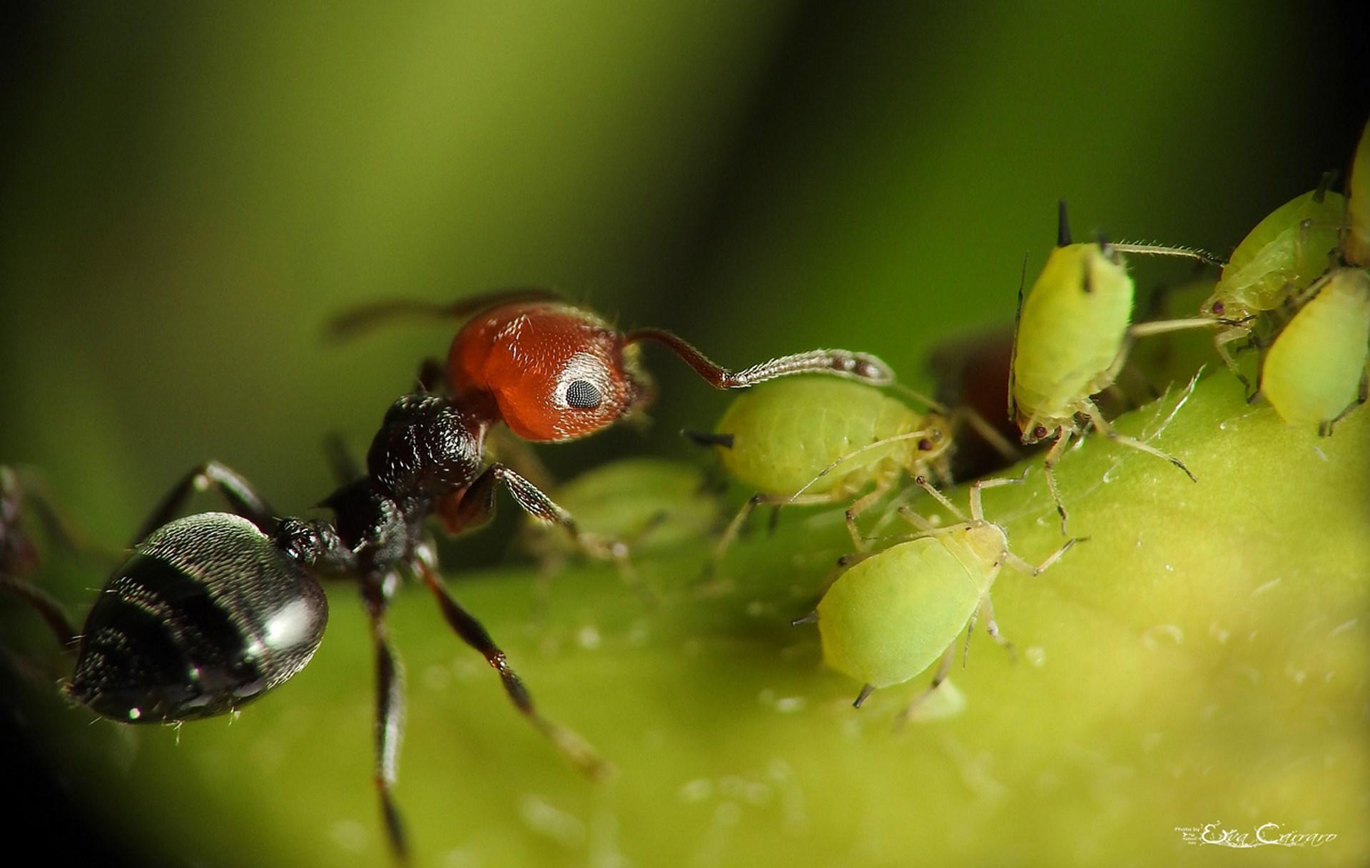 Formica nell'atto di accudire gli afidi - © Eva Carraro, brutto