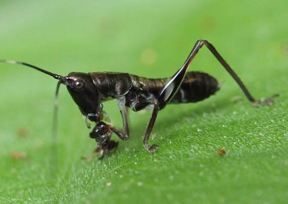 Ninfa di Catidide in atto predatorio su di una formica - Project Noah