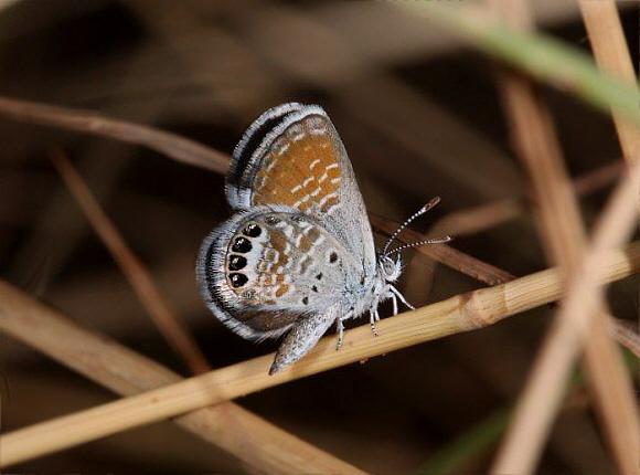 Brephidium exile piccole