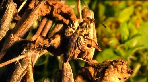 Zerynthia polyxena © Gianluca Doremi