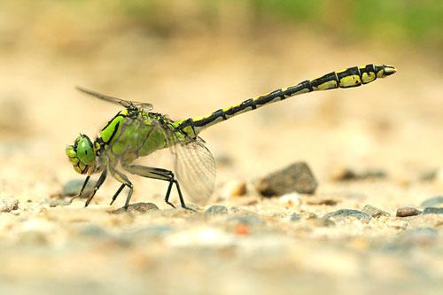 Ophiogomphus cecilia - Macrografie.nl | Photos Green Snaketail