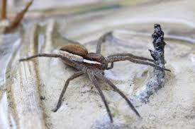 400 ragni Zattera  reintrodotti negli stagni della Gran Bretagna – VIDEO