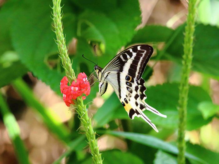 Papilio natewa - foto da Nature Glenelg Trust