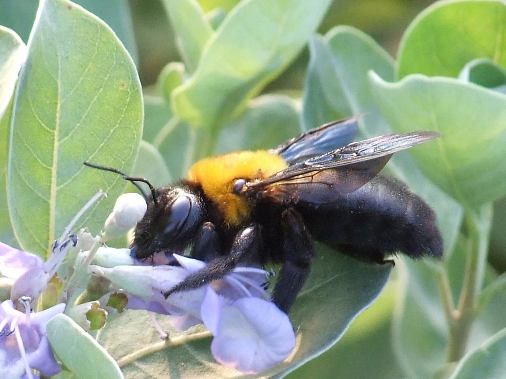 Xylocopa appendiculata - impollinatori
